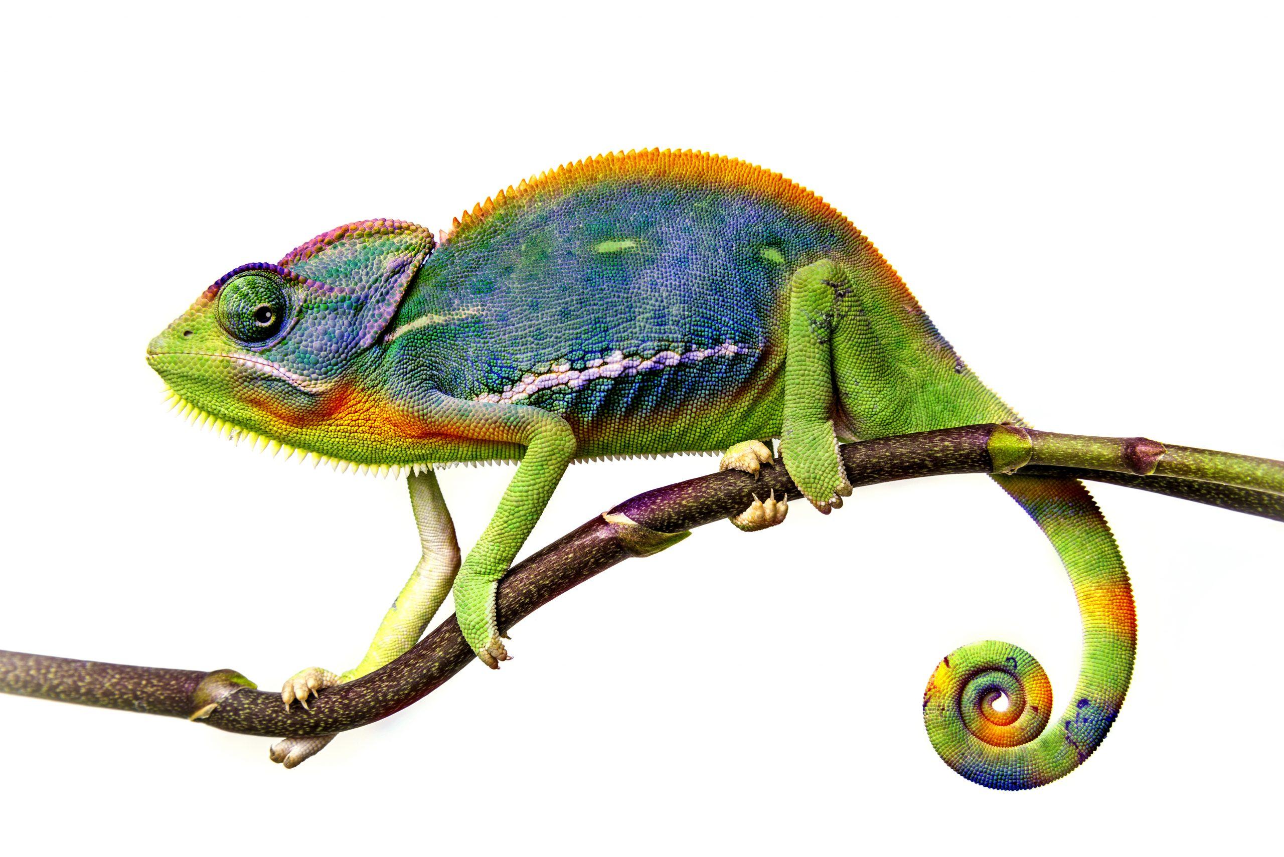 blauw gele kameleon 1
